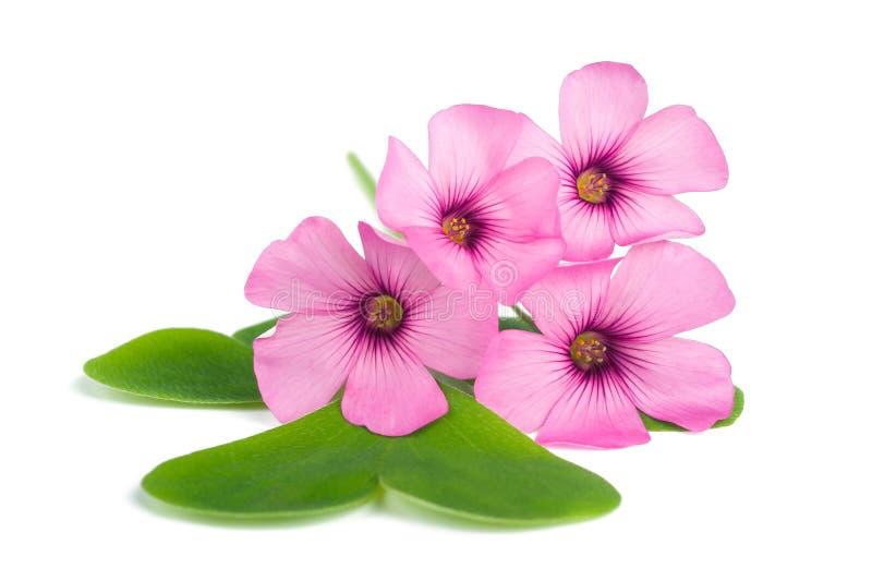 Fleurs d'oxalide blanche petite oseille photos stock