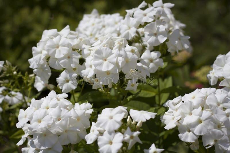 Fleurs d'?t? Beaucoup de fleurs blanches dans le plan rapproché de pré images libres de droits