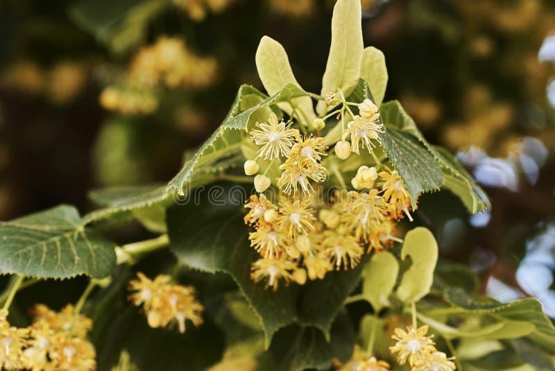 Fleurs d'un arbre de tilleul parmi les feuilles vertes une journée de printemps lumineuse avec le ciel bleu sur le fond photos libres de droits