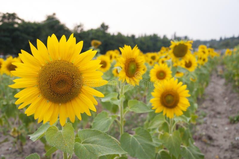 Fleurs d'un tournesol photographie stock