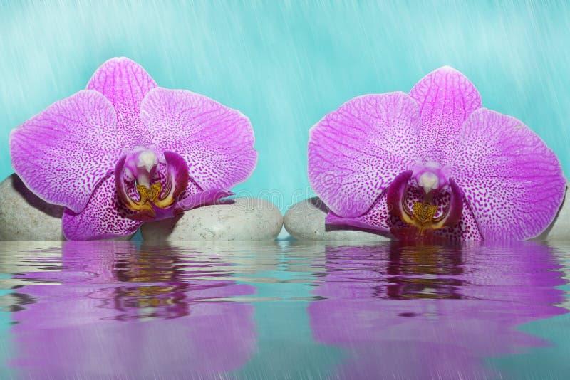 Fleurs d'une orchidée rose près de l'eau dans un brouillard sur un caillou blanc photographie stock
