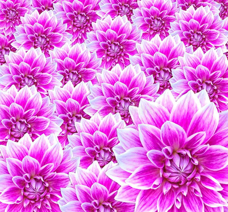 Fleurs (dahlia) photo stock