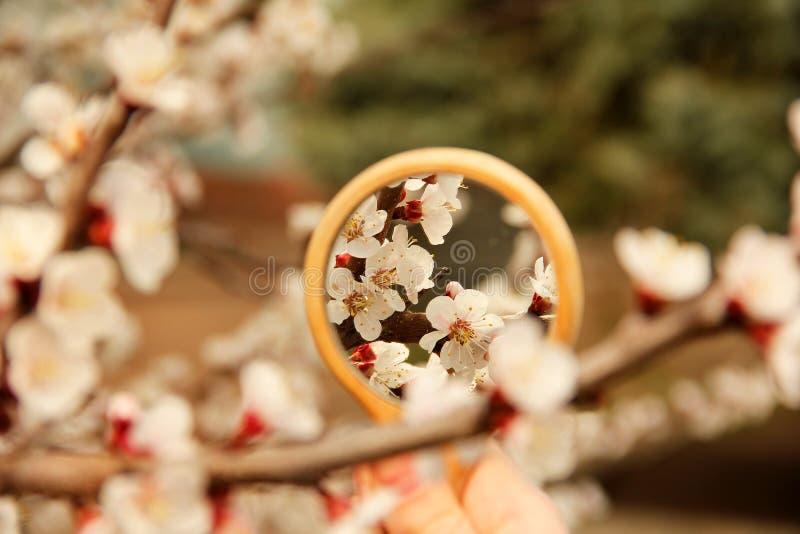 Fleurs dans la r?flexion de miroir Arbre fleurissant L'arbre fleurit au printemps photos stock