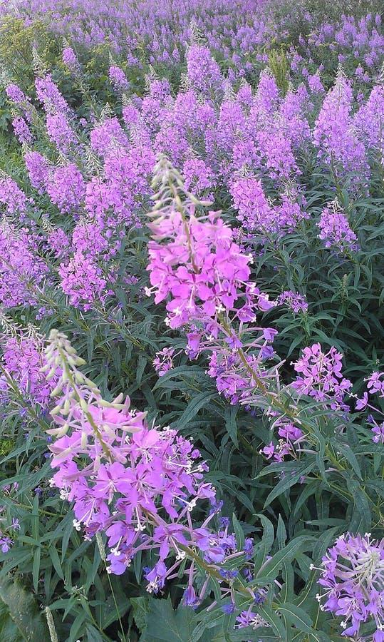 Fleurs dans la toundra photos libres de droits
