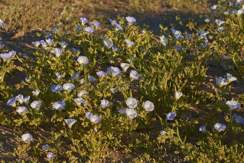 Fleurs dans le désert d'Atacama au Chili photographie stock libre de droits