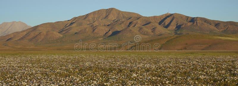 Fleurs dans le désert d'Atacama au Chili photo libre de droits