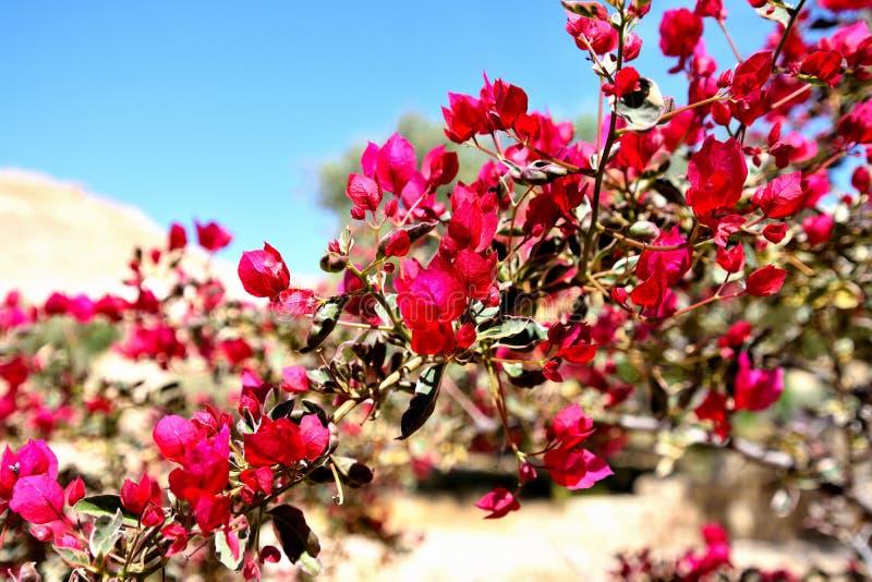 Fleurs dans le désert du Néguev israélien photos stock