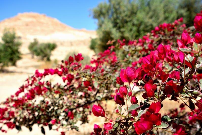 Fleurs dans le d?sert du N?guev isra?lien photos stock