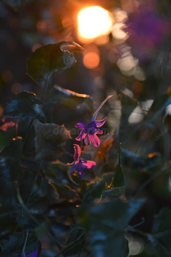 Fleurs de Ð'eautiful au coucher du soleil photo stock