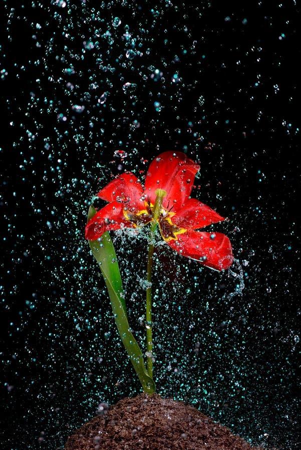 Fleurs de arrosage quatre image libre de droits