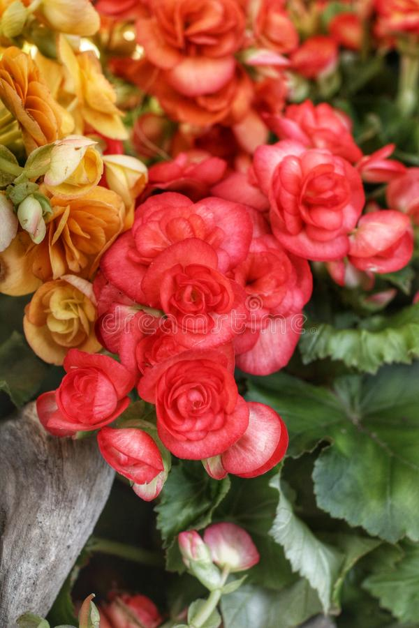 Fleurs de bégonia image libre de droits