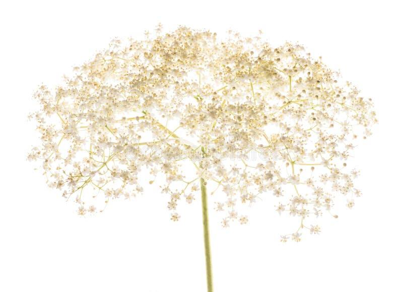 Fleurs de baie de sureau d'isolement photo libre de droits