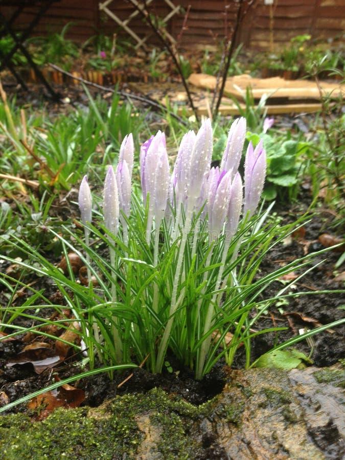 Fleurs de baisse de neige photographie stock