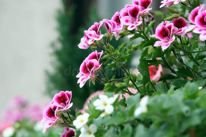 Fleurs de balcon photo libre de droits
