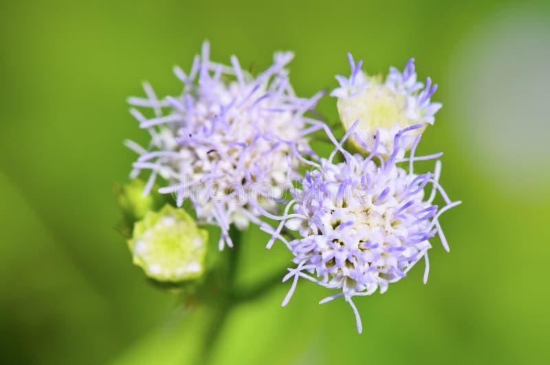 Fleurs de Billy Goat Weed (conyzoides d'Ageratum) image libre de droits