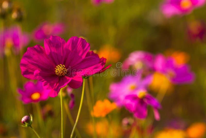 Fleurs de bipinnatus de cosmos, une qui facile de traiter stupide, et l'élevage rapidement image libre de droits