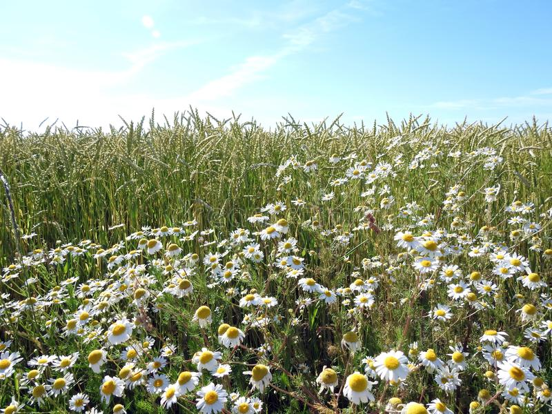 Fleurs de blé et de marguerite blanche en été, Lithuanie photo libre de droits