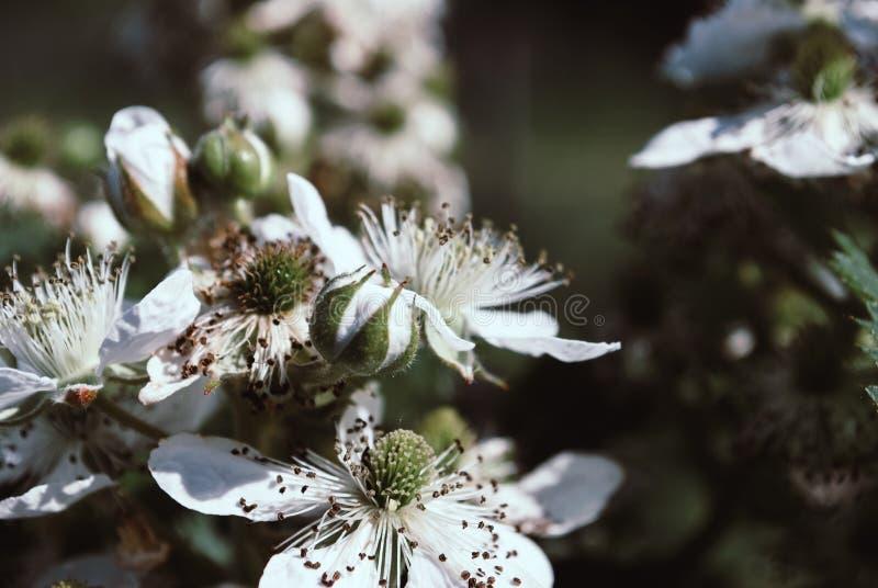 Fleurs de Blackberry en fleur Fond photo stock