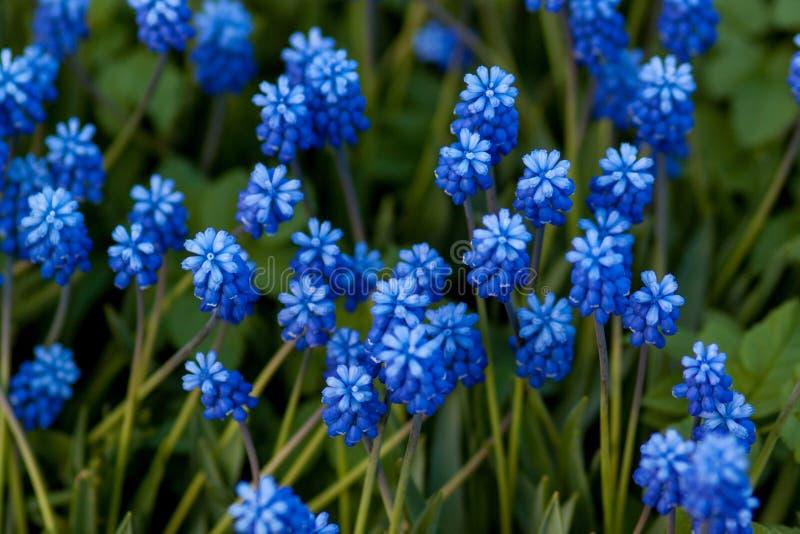 Fleurs de bleu de clairière photos libres de droits