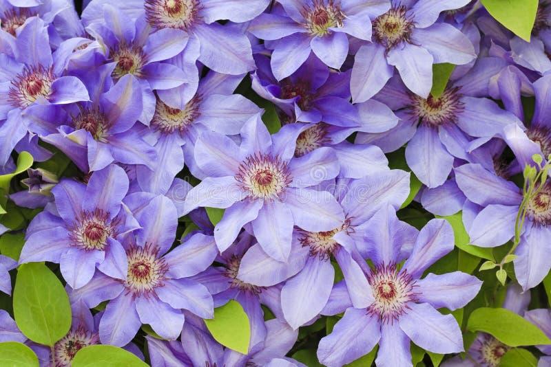 Fleurs de bleu de Clematis image libre de droits