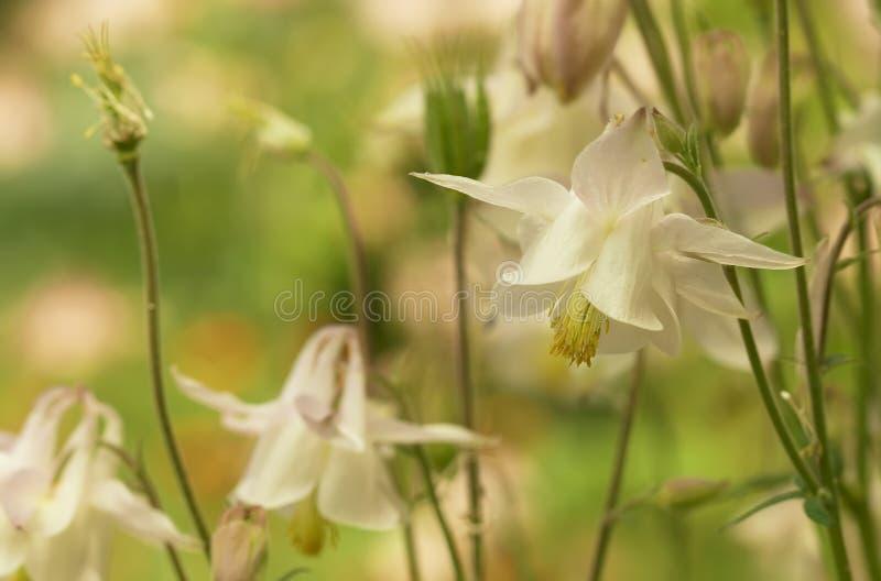 Fleurs de Bluebell images libres de droits