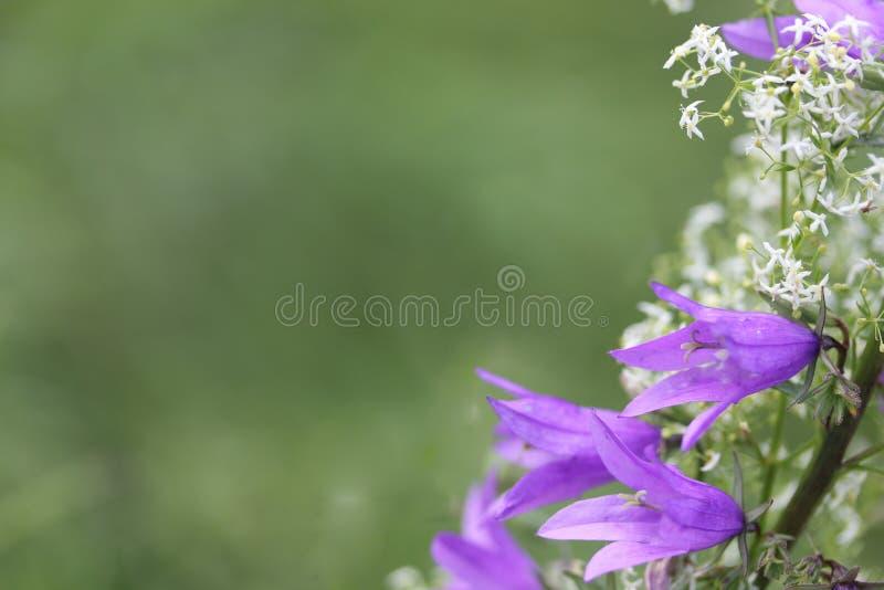 Fleurs de Bluebell sur le pré d'été photo libre de droits