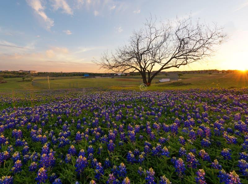 Fleurs de Bluebonnet fleurissant à Irving, le Texas photographie stock