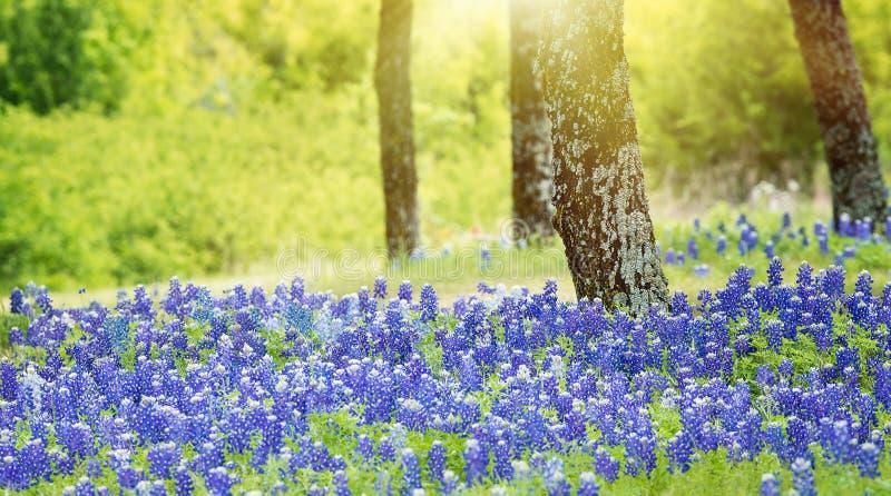 Fleurs de bluebonnet de Texas fleurissant sous les arbres photographie stock libre de droits