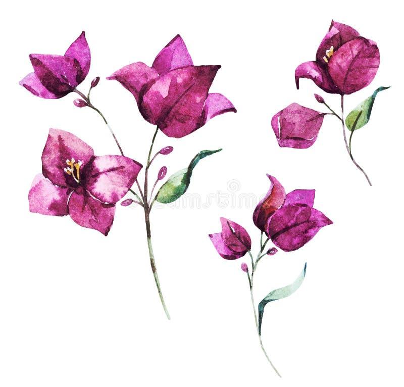 Fleurs de bouganvillée de trame d'aquarelle illustration libre de droits