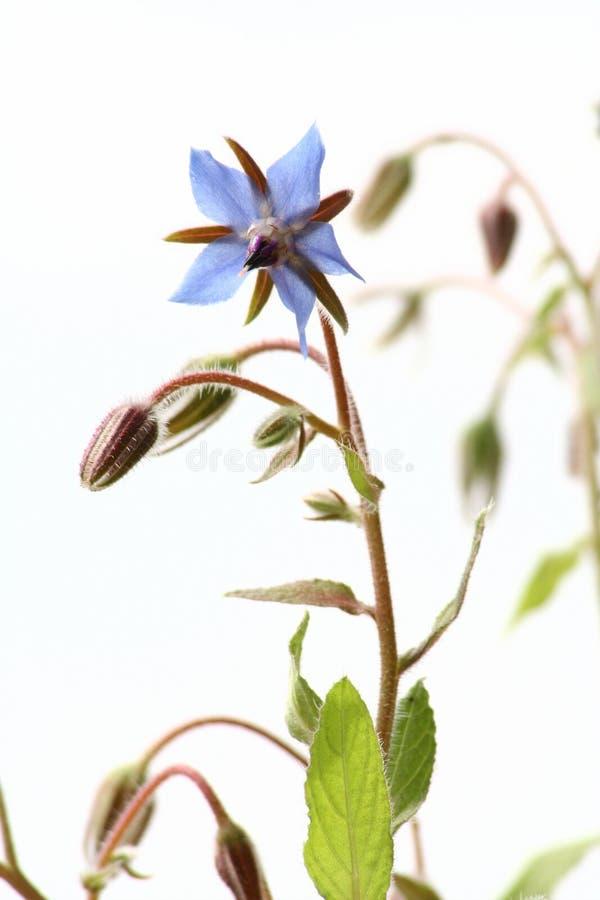 Fleurs de bourrache photographie stock