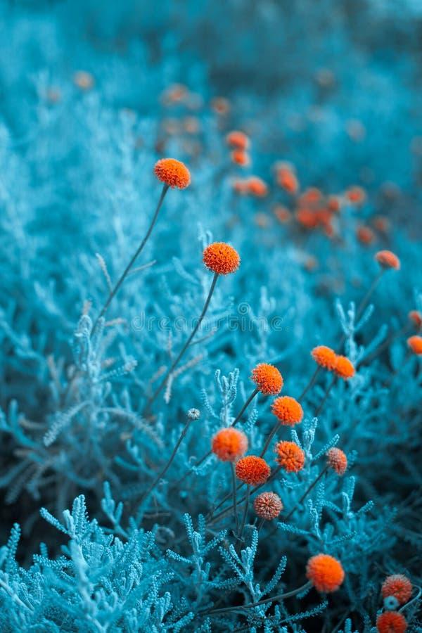 Fleurs de boutons de billy de Craspedia à l'arrière-plan infrarouge de foyer sélectif de plan rapproché de couleurs de jardin photos stock