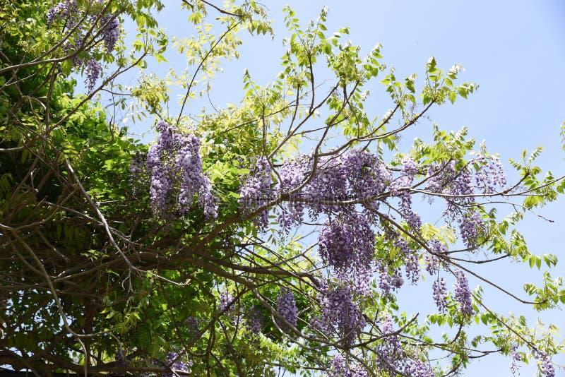 Fleurs de brachybotrys de glycine photo stock