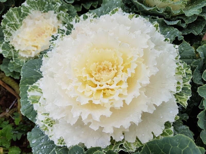 Fleurs de Cabage photographie stock libre de droits