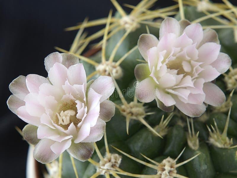 Fleurs de cactus photographie stock libre de droits