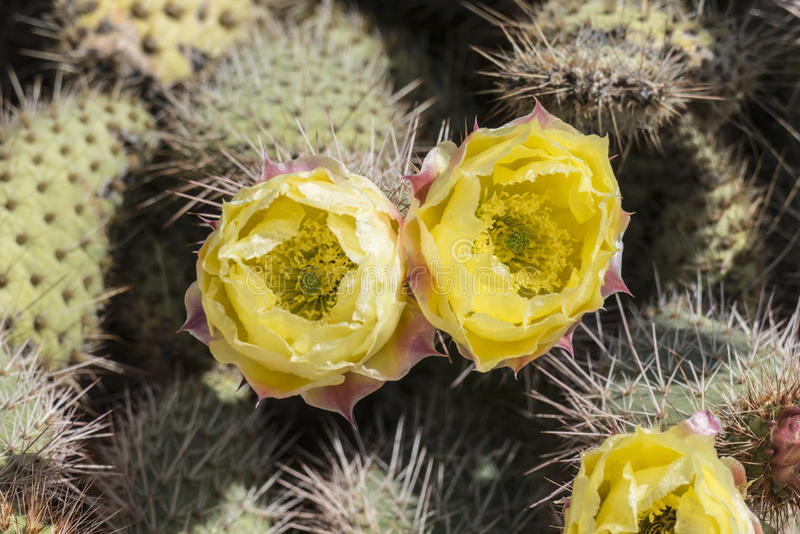 Fleurs de cactus de palette remplies par pollen photographie stock libre de droits