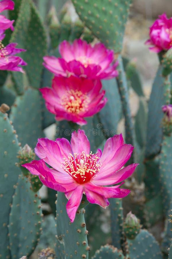 Fleurs de cactus de rose chaud photographie stock libre de droits