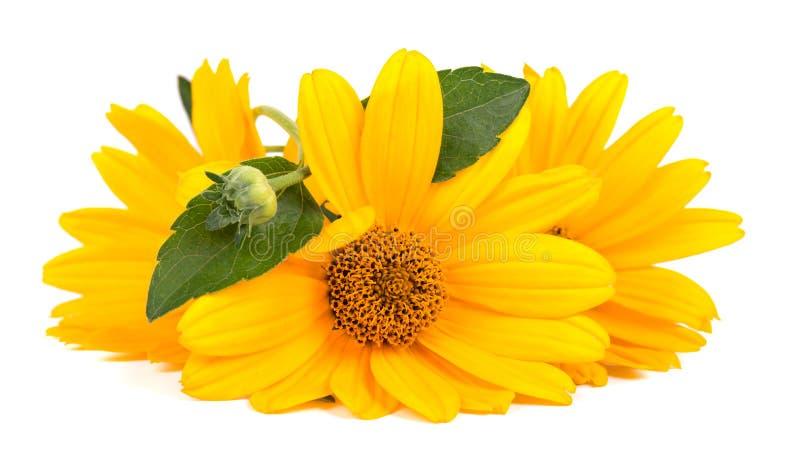 Fleurs de Calendula d'isolement sur le fond blanc Herbes médicinales de fleur de souci photographie stock