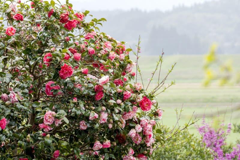 Fleurs de camélia photo libre de droits