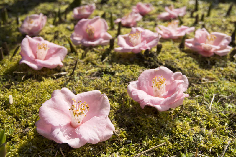 Fleurs de camélia images stock
