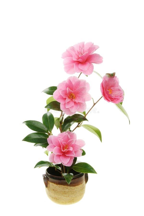 Fleurs de camélia dans un bac photos libres de droits