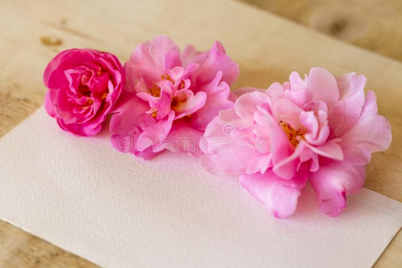 Fleurs de camélia de rose de jour de mères saluant la carte vierge de fond photos stock