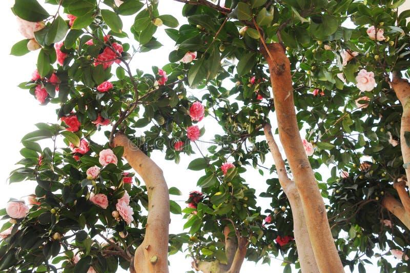 Fleurs de camélia sur l'arbre photos libres de droits