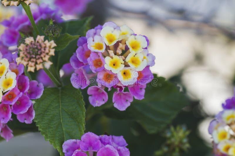 Fleurs de camara de Lantana photographie stock libre de droits
