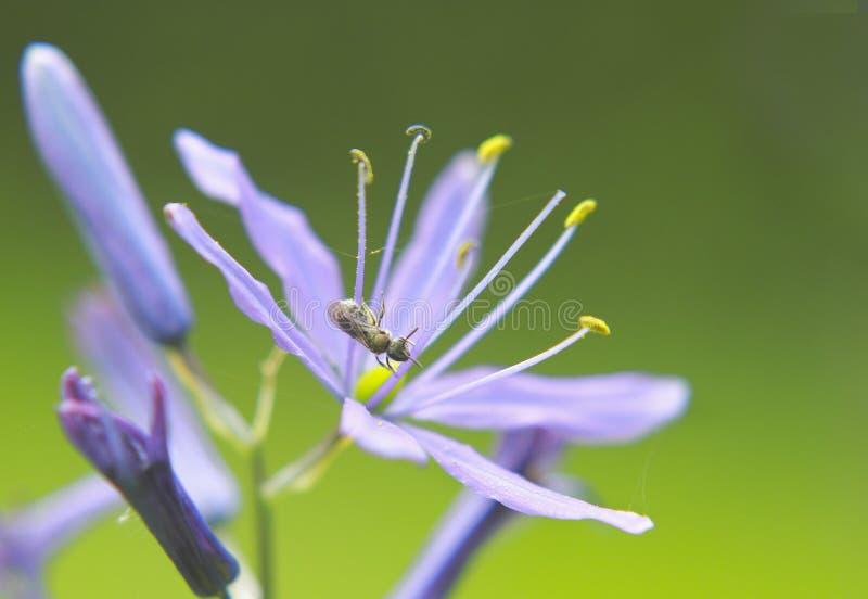 Fleurs de Camassia dans les jardins d'Italianate images libres de droits