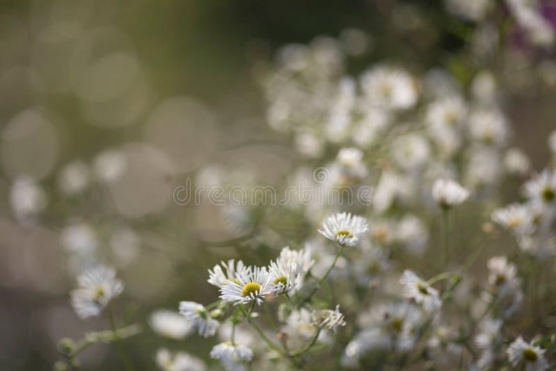 Fleurs de camomille dans le jardin le défunt automne photographie stock libre de droits