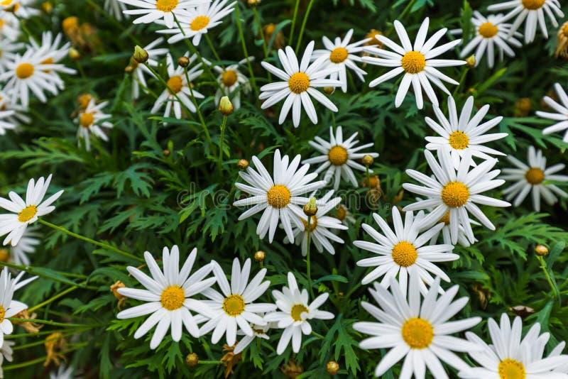 Fleurs de camomille - fond floral images libres de droits