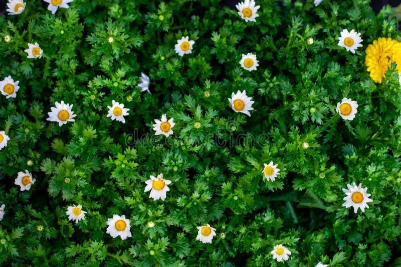 Fleurs de camomille de marguerite sur le pr? vert de champ Fond de ressort ou de fleur d'?t image libre de droits