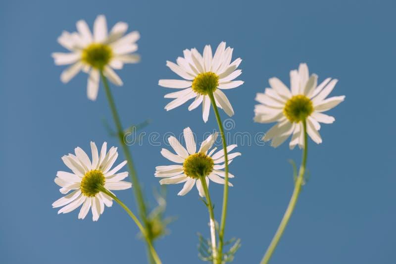 Fleurs de camomille sur le fond de ciel bleu photographie stock libre de droits