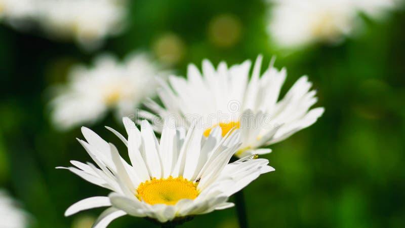 Fleurs de camomille sur un pré d'été photographie stock