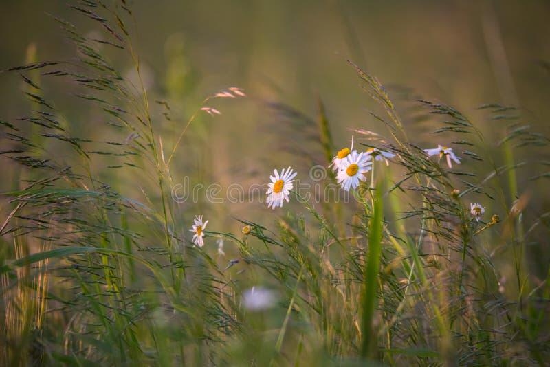 Fleurs de camomille sur un pr? photographie stock libre de droits